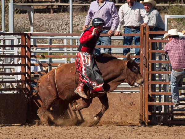 FAHA Bull/Steer 1