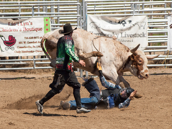 FAHA Bull/Steer 2
