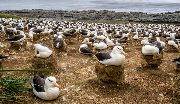 NESTING COLONY OF BLACK BROWED ALBATROSS ON NEST - STEEPLE JASON ISLAND FALKLAND ISLANDS