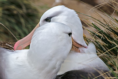 PAIRED FOR LIFE BLACK BROWED ALBATROSS NEW ISLAND FALKLAND ISLANDS