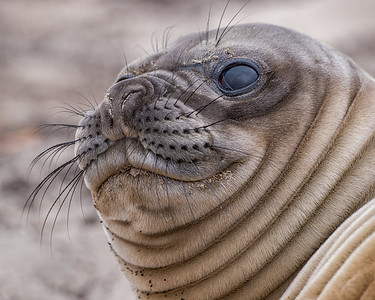 PORTRAIT ELEPHANT SEAL PUP SEA LION ISLAND - FALKLAND ISLANDS