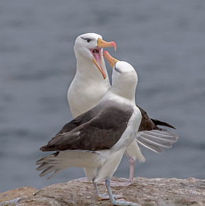 PAIR BLACK BROWED ALBATROSS