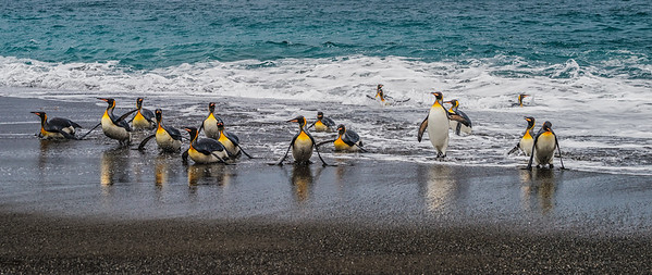 KING PENGUINS EMERGING FROM SEA RIGHT WHALE BAY SOUTH GEORGIA