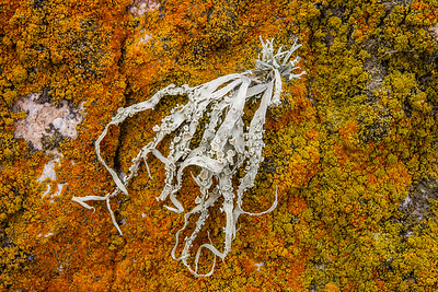 LICHEN (Unsea aurantiaco-atra) SURROUNDED BY ORANGE Caloplace STEEPLE JASON ISLAND - FALKLAND ISLANDS