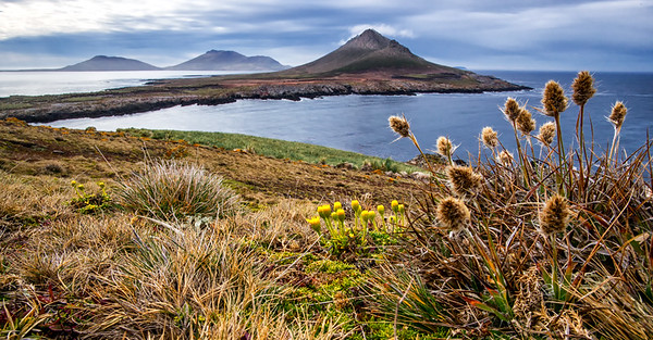 LOOKING EAST WITH NATIVE WOODRUSH (Luzula alopecurus) - STEEPLE JASON ISLAND FALKLANDS