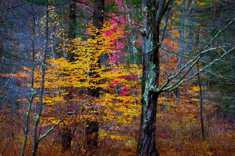 Forest Beech