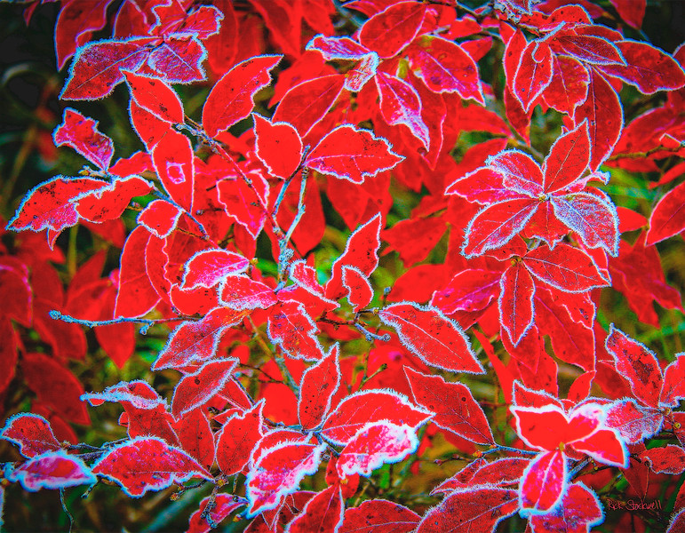 frost nip reds