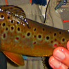 BEAUTIFUL COLORATION OF THIS BROWN TROUT