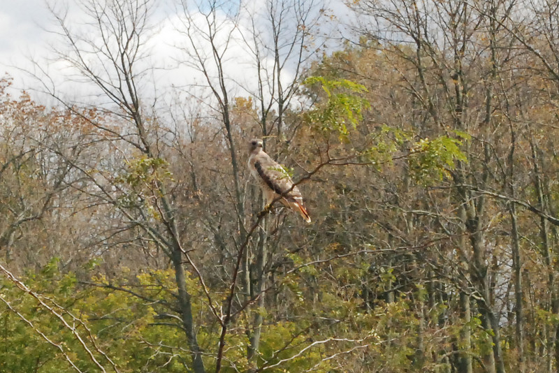 My husband, David, caught sight of this hawk on the way to the orchard. It sat and looked at us for a bit before flying off. Unfortunately, i was traveling light and did not have my telephoto... my bad.