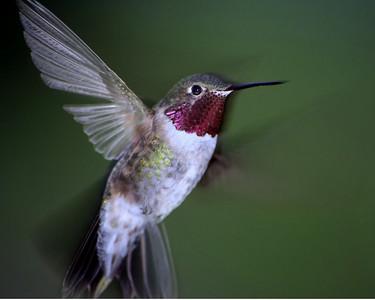 Anna's Hummingbird, Taken in Durango, Co.