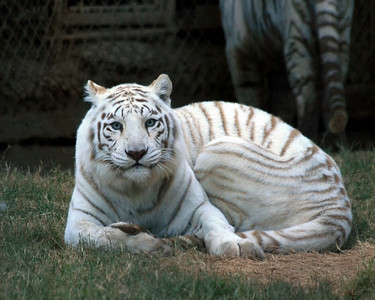 White Tiger World Wildlife Zoo