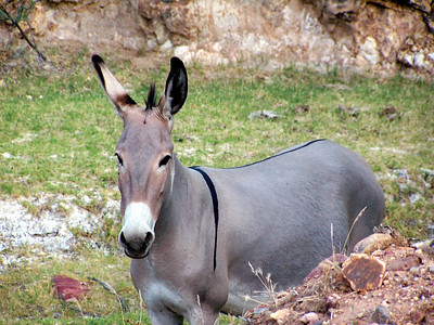 Wild Donkeys, Wickenberg, Az
