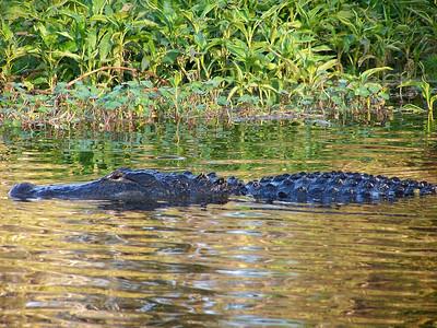 Gator, Lake Parker, Lakeland, Fl.