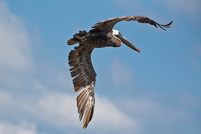 Very mature Brown Pelican