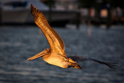 Juvenile Brown Pelican looking to roost in the late golden light