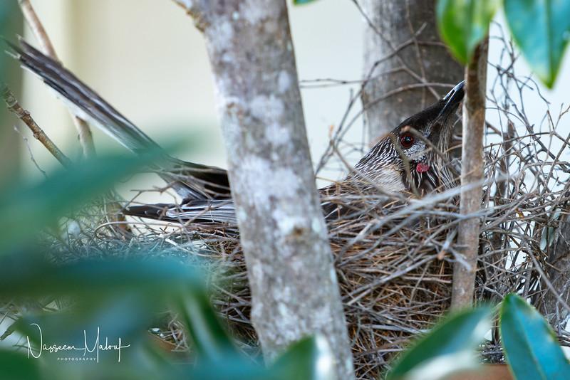 Wattle Bird Nesting Date (DD)0919-18.jpg