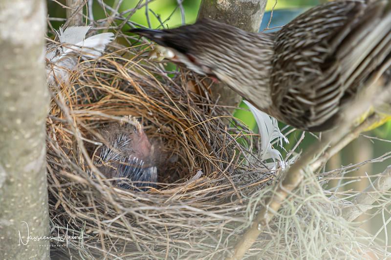 Wattle Bird Nest (DD)0919-103.jpg