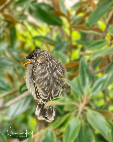 Wattle Blrd Nesting  (DD)1019-58-Edit.jpg