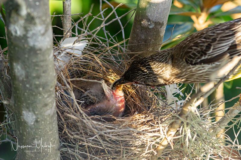 Wattle Bird Nest (DD)1019-474.jpg