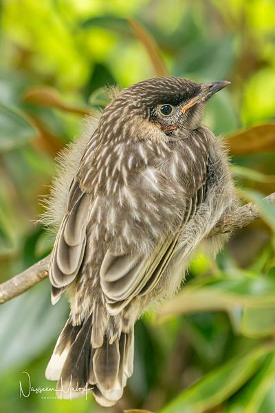 Wattle Blrd Nesting  (DD)1019-71.jpg