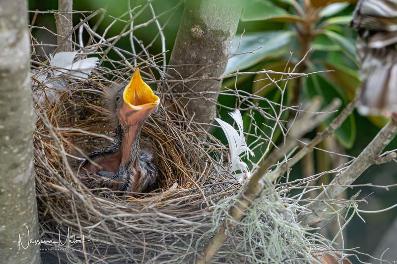 Wattle Bird Nest (DD)0919-158.jpg