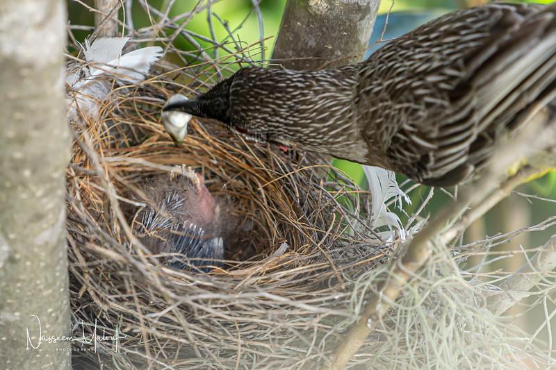 Wattle Bird Nest (DD)0919-101.jpg