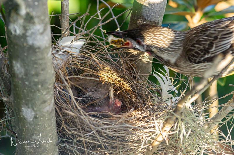 Wattle Bird Nest (DD)1019-477.jpg