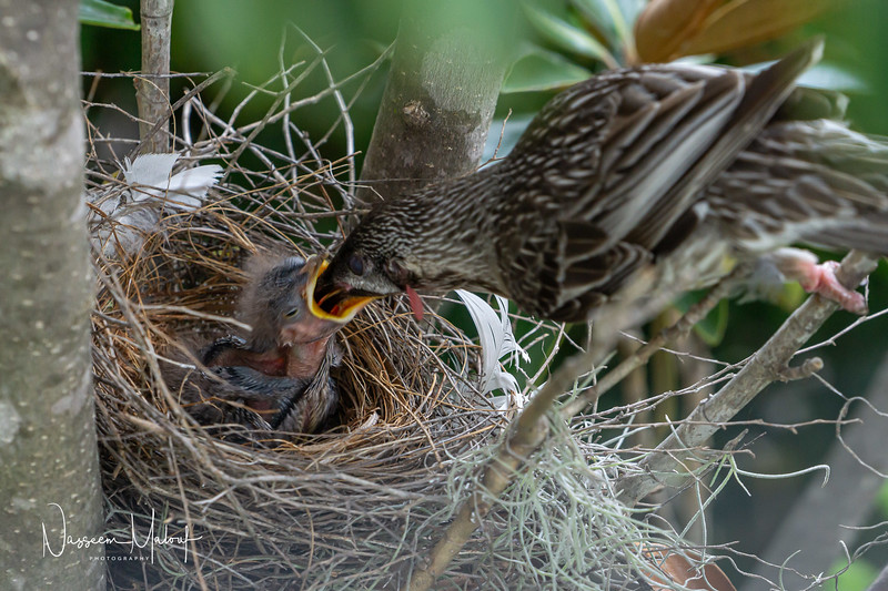 Wattle Bird Nest (DD)0919-172.jpg