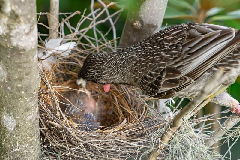 Wattle Bird Nest (DD)0919-155.jpg