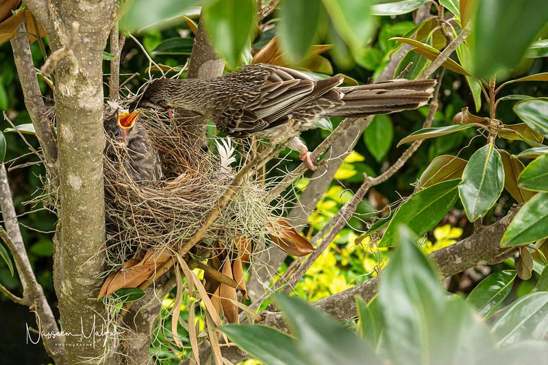 Wattle Bird Nest (DD)1019-58.jpg