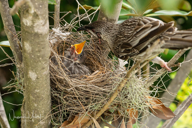 Wattle Bird Nest (DD)1019-19.jpg