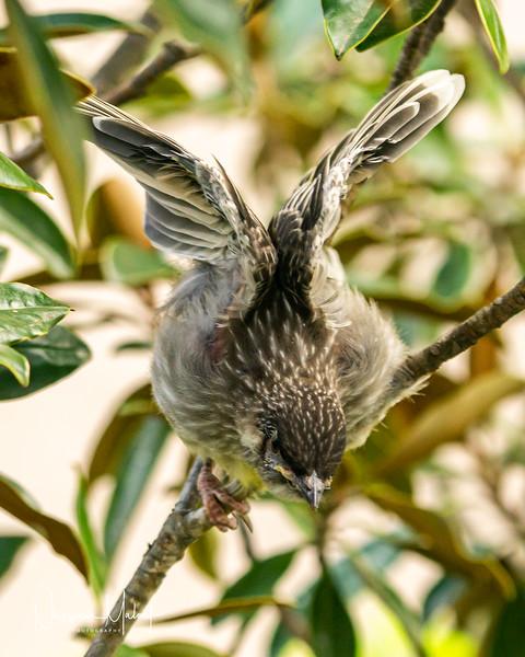Wattle Blrd Nesting  (DD)1019-111.jpg