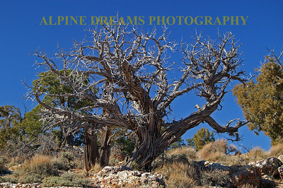 This ancient looking tree has so much character, so much detail that I tried to capture this and take it home. This was shot near the South rim of the GRAND CANYON.  More like this can be found in ARIZONIA.