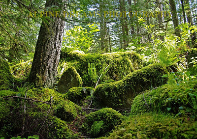 In Washington State there are many Rain Forests.  This is one of them.  The emerald green and the mosses and ferns covered everything in site. I called this RAIN FOREST!