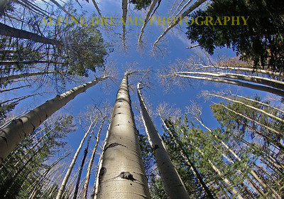One of my favorite shots ever. I ws hiking with my son Tom and my wife near Mt Humprhrey in Arizona outside of Flagstaff. The mix of trees both hardwoods and evergreens made for some great scenery. I laid my camera up against this beauty in a small clearing and shot straight up to the sky. Note the detail in the bark!   I called this    TREES to the SKY!