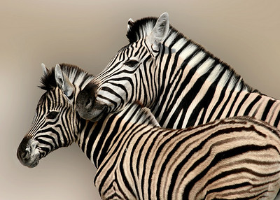 ZEBRAS - NAMIBIA