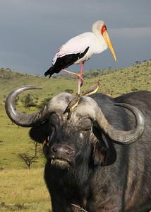 CAPE BUFFALO - MASAI MARA, KENYA