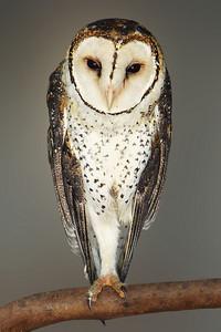 MASKED OWL - KANGAROO ISLAND, AUSTRALIA