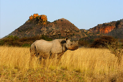 BLACK RHINO - ITHALA, SOUTH AFRICA