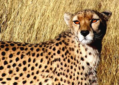 CHEETAH - NAMIBIA