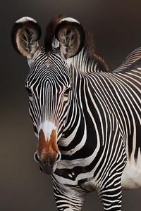 GREVY'S ZEBRA - NAMIBIA
