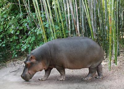 HIPPO - ZAMBIA