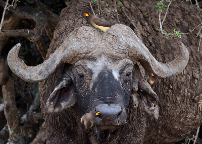 CAPE BUFFALO - KENYA