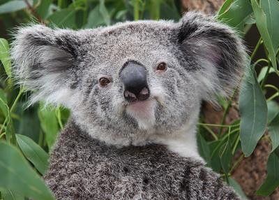 KOALA - VICTORIA, AUSTRALIA