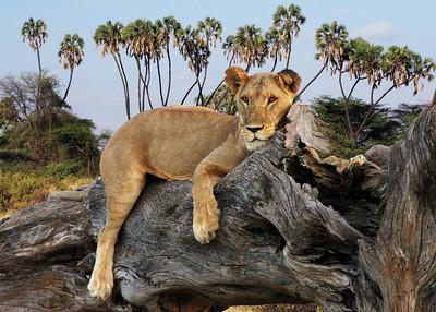 LIONESS - SAMBURU, KENYA