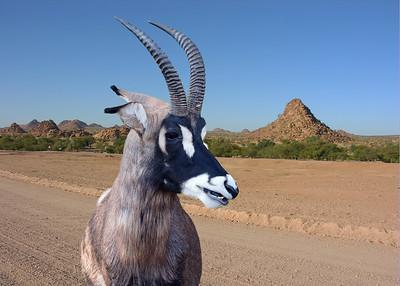 ROAN ANTELOPE - NAMIBIA