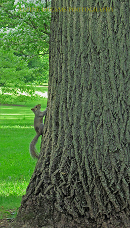 SQUIRREL-TREE