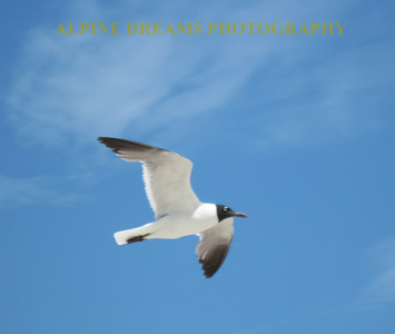 GULL-FLIGHT-2