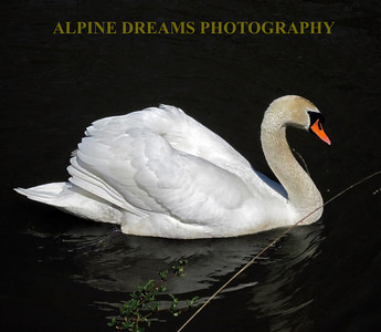 BEAUTIFUL-SWAN