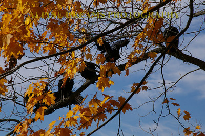 RAVENS-IN-THE-FALL